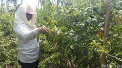 27 Kelompok Tani Dapat Bantuan Tanam Cabai di Malang