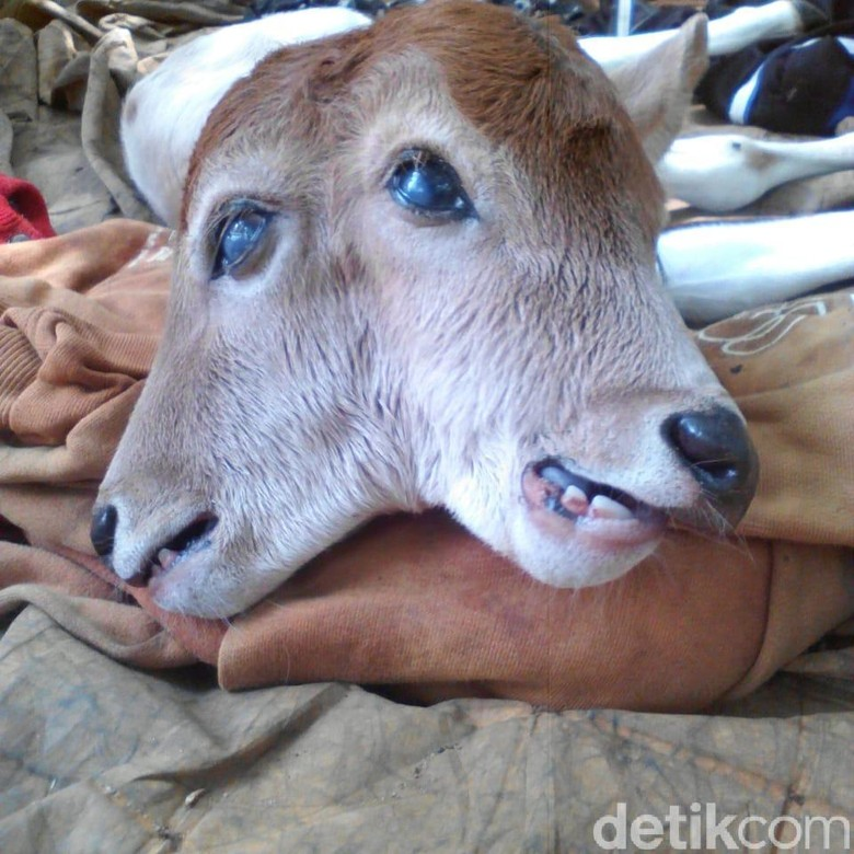 Anak Sapi Berkepala Dua di Riau Akhirnya Mati
