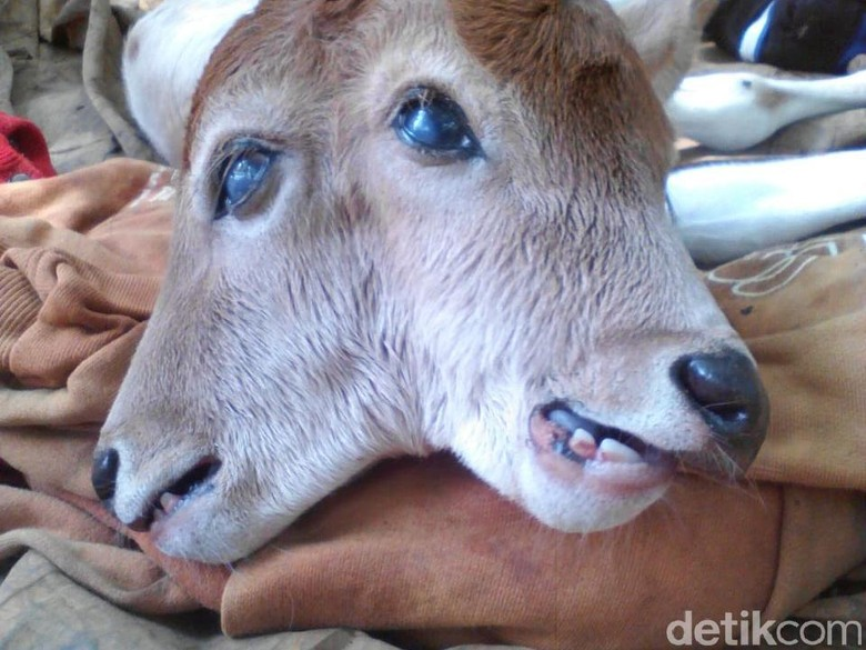Heboh Sapi Berkepala 2 di Riau, Ini Penjelasan Ilmiahnya