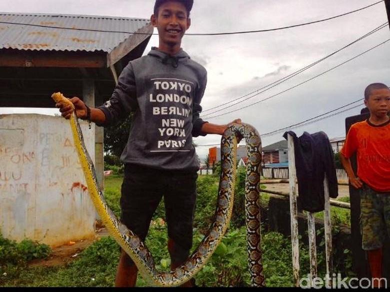 Warga Tangkap Sanca 3 Meter Saat Nyeberang Jalan di Ambon