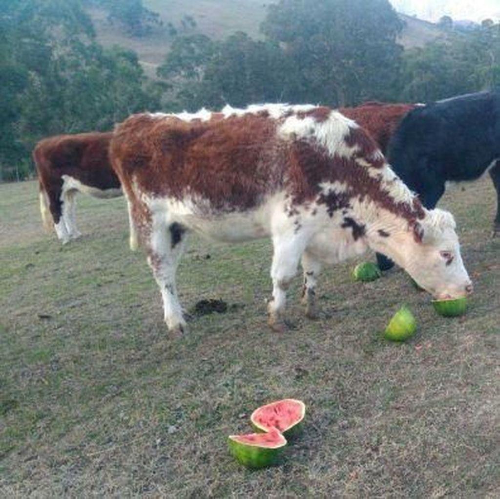 Jerami Langka dan Mahal, Ternak Sapi di Australia Diberi Makan Semangka