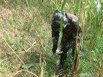 Babi Hutan Rusak Perkebunan Jagung di Banjarnegara