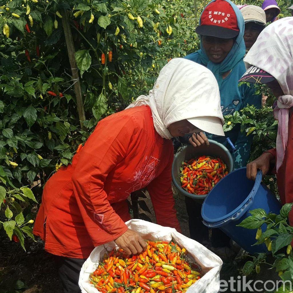 Kementan Gelontorkan Bantuan Tanam Cabai Rp 4,4 M ke Kabupaten Malang