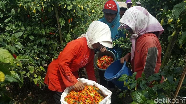 Ratusan Hektar Lahan Cabai di Malang Terserang Virus Gemini