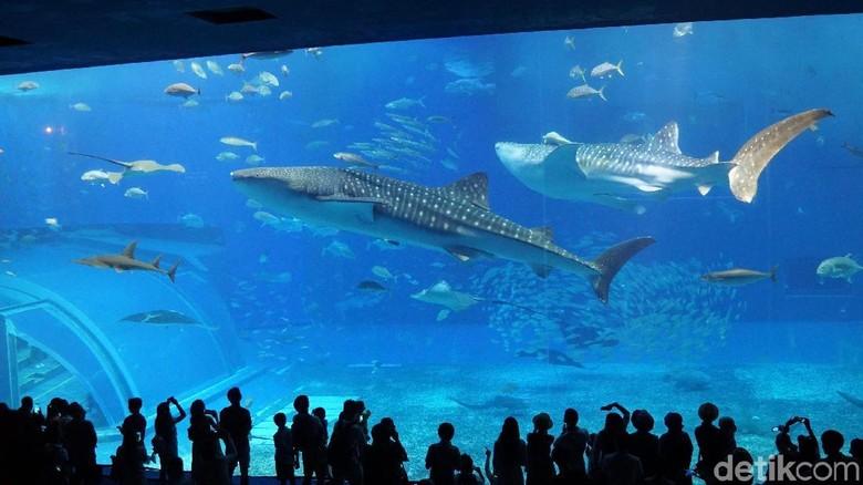 Akuarium Kuroshio di Okinawa Churaumi Aquarium, Jepang (Masaul/detikTravel)