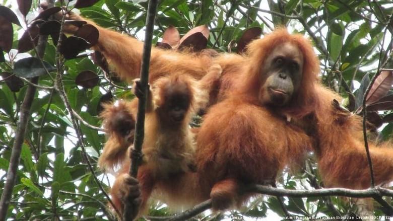 Benarkah PLTA Batang Toru Tak Mengancam Habitat Orangutan Tapanuli?