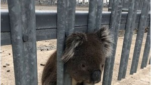 Seekor Koala Tersangkut di Pagar di Adelaide