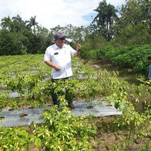 Pasokan Cabai di Sorong Kini Bisa Dipenuhi dari Petani Lokal