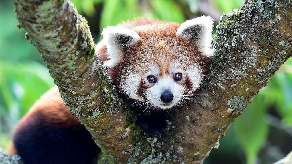 Berkenalan dengan Panda Merah, Hewan Unik dari Benua Asia
