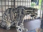 Macan Dahan Terjebak di Kolong Rumah Warga di Riau