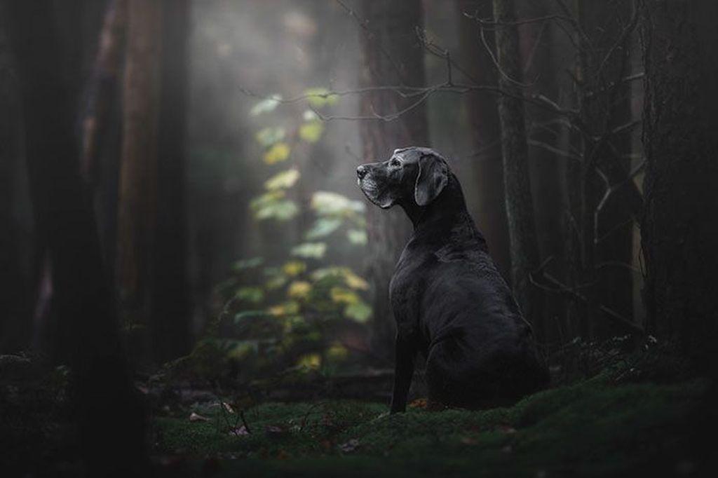 Jawara umum Dog Photographer of the Year 2018 dan pemenang pertama di kategori oldies dimenangkan oleh fotografer Monica Van Der Maden asal Belanda. Fotonya berjudul The lady of the mystery forest'menunjukkan seekor anjing hitam di tengah hutan yang dramatis tapi keren.Foto: Monica Van Der