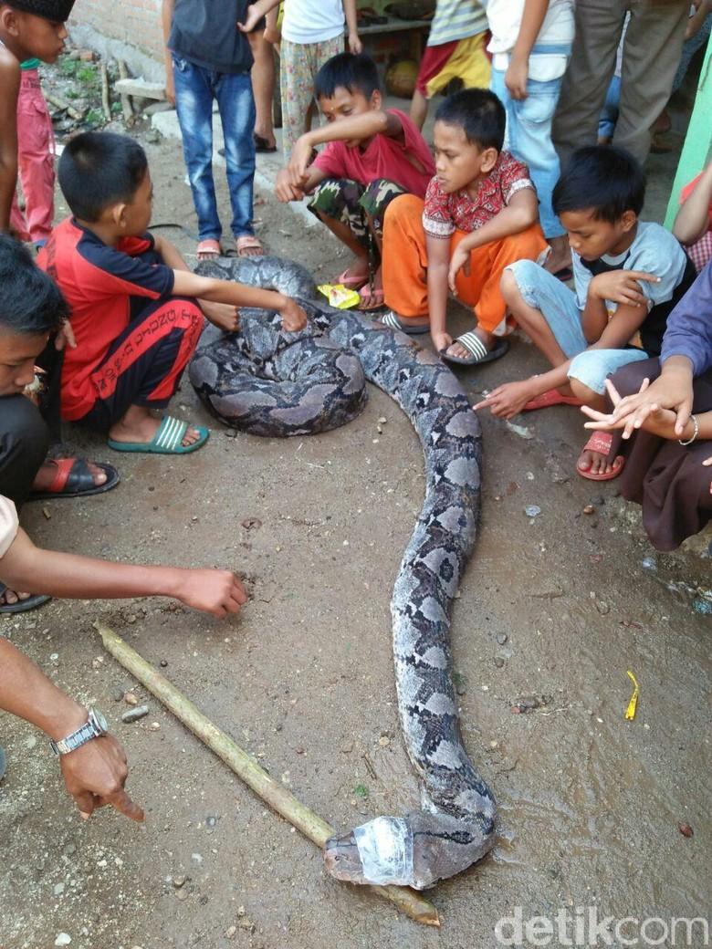 Warga Tangkap Ular Piton 8 Meter di Jambi