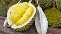 Viral 2 Ton Durian di Sriwijaya Air, Kemenhub: Boleh asal Sesuai SOP