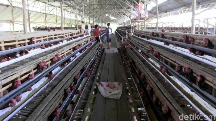 Peternakan ayam/Foto: Robby Bernardi/detikcom