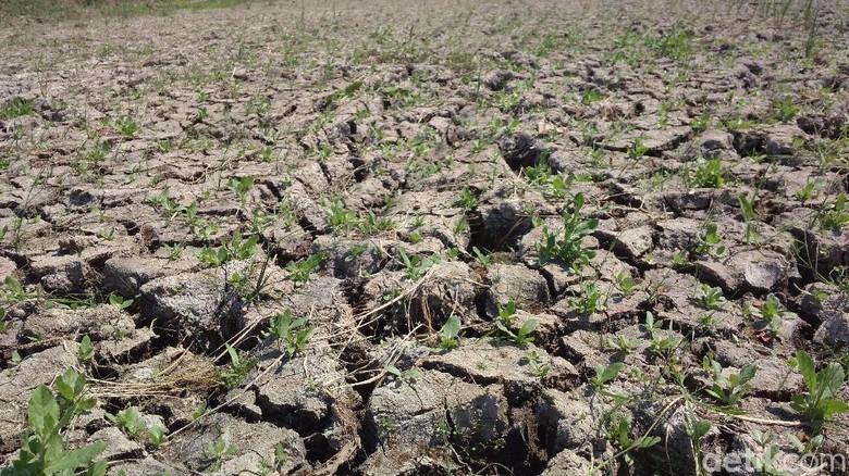 Kekeringan, Petani di 12 Kecamatan Cirebon Terancam Gagal Panen