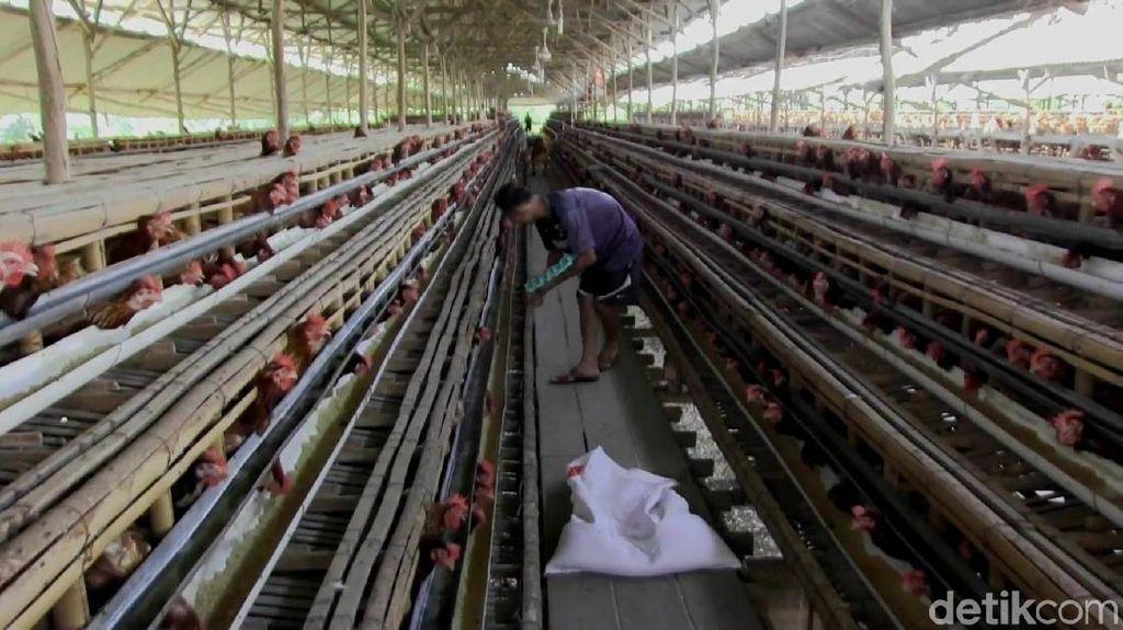 Cerita Peternak Ayam Putar Otak Siasati Lonjakan Harga Pakan