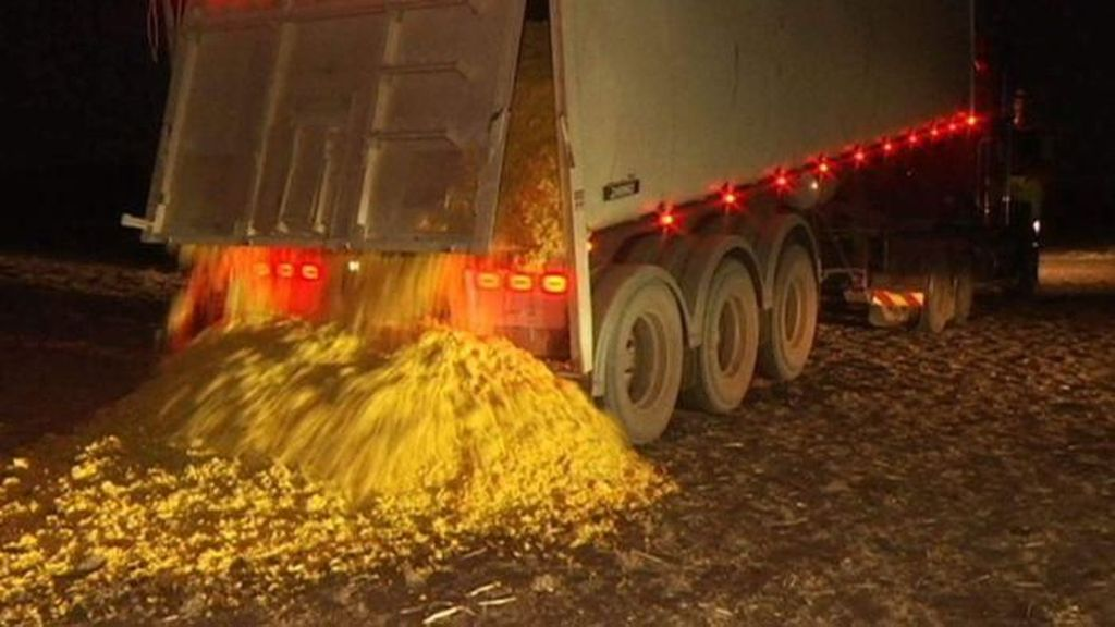 Akibat Kekeringan, Sapi di Australia Terpaksa Makan Kulit Jeruk