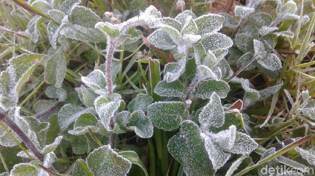 Tepung Es Muncul di Kebun Teh Kaligua Brebes