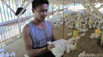 Daging Ayam Masih Mahal, KPPU Sidak Peternakan di Kabupaten Bandung