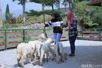 Bermain bersama domba