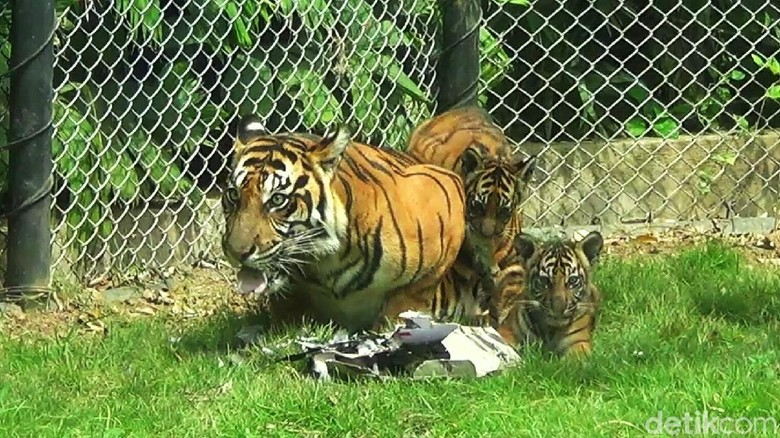 3 Bayi harimau di Bali Zoo (Nandhang/detikTravel))