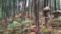 Foto: Hutan Pinus Penghilang Stress di Blitar