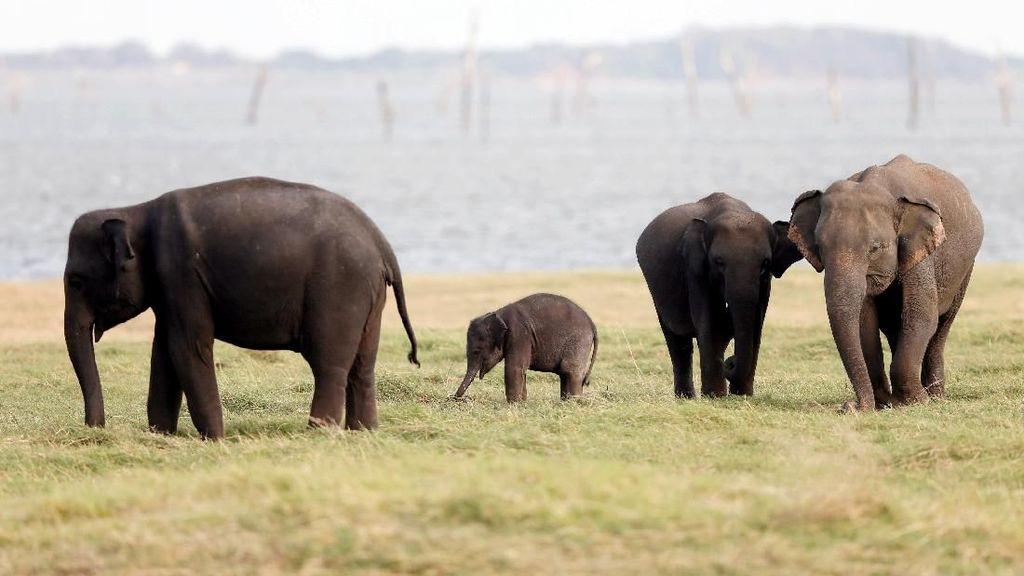 Phajaan: Tradisi Kejam Menyiksa Gajah