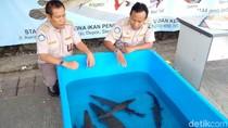 20 Ekor Ikan Berbahaya Diserahkan ke BKIPM Yogya