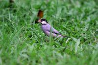 Pemerintah Lindungi Pleci hingga Kenari, Kontes Burung Diprotes
