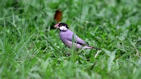 Gelatik Jawa (Lonchura oryzivora) kini jadi hewan dilindungi (Kredit Foto: Dedy Istanto/Wildlife Photography)