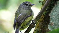 Opior Jawa (Heleia javanica), burung kecil yang kicauannya juga banyak digemari kini jadi satwa dilindungi (kredit Foto: burung ocehan.link)