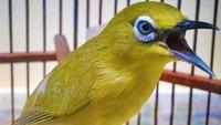 Kacamata Jawa alias Pleci (Zosterops flavus) atau yang biasa dikenal dengan sebutan di pecinta kicau mania Pleci Dakun Maput atau Pleci Muria/Jawa juga masuk ke dalam daftar tersebut. (foto: ternak.info)