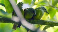 Opior Jawa (Heleia javanica) yang sering hinggap di pepohonan (kredit Foto: Adhy Maruli)