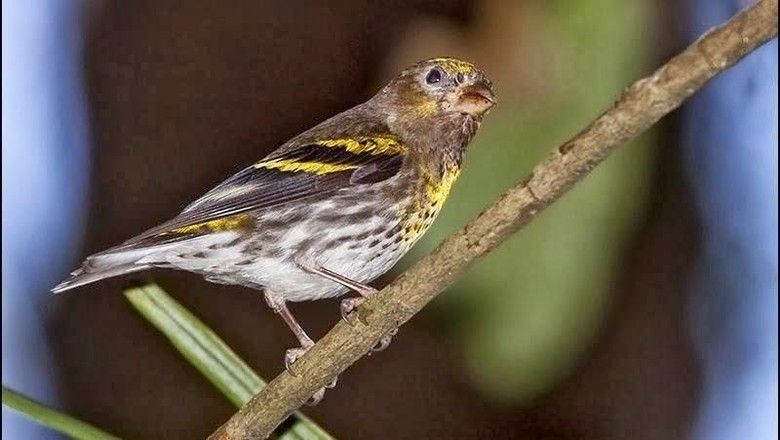 Burung Kicau yang Baru Masuk Daftar Satwa Dilindungi