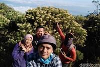 Koloni bunga Edelweiss dapat ditemui di batas vegetasi tanaman keras dengan puncak Gunung Ciremai (Muhammad Idris/detikTravel)