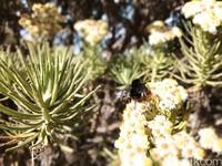 Selain sedang mekar-mekarnya saat kemarau, banyak tawon yang hinggap di bunga Edelweiss sehingga menambah keindahan bunga tersebut (Muhammad Idris/detikTravel)
