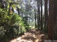 Setelah melewati ladang sayur mayur, kita akan masuk ke hutan pinus Palutungan (Muhammad Idris/detikTravel)