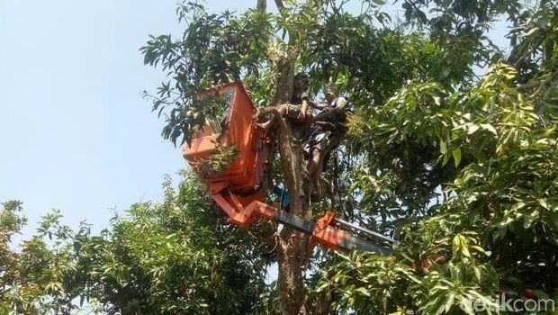 Pria Ini Pingsan di Atas Pohon, Warga Sampai Panggil Mobil Skylift