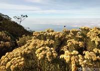 Saat musim kemarau, adalah saat bunga abadi ini sedang mekar-mekarnya di atas Ciremai yang memiliki ketinggian 3.078 mdpl (Muhammad Idris/detikTravel)