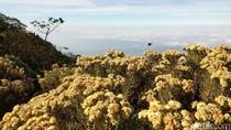 Bunga Abadi di Puncak Gunung Ciremai Kemarau Ini
