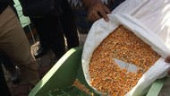 Menggali Peluang Bisnis Jagung untuk Pakan Ternak