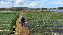 Puluhan Hektare Lahan Pertanian di Bantul Terendam Air Pasang