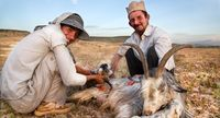 Kambing menjadi komoditas hewan ternak utama Qashqai (Pascal Mannaerts/BBC Travel)