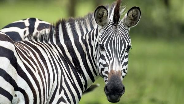 Walau mirip kuda, namun zebra tak sejinak kuda. Si belang ini sangat agresif dan susah ditaklukkan.(dok. Mahmoud A Sahrani/Facebook)