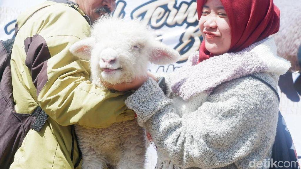 Wisatawan DCF Gemes Saat Lihat Bulu dan Tubuh Domba Asli Dieng