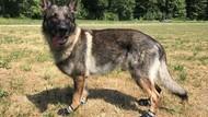 Gelombang Panas: Pemilik Anjing Dimbau Beli Sepatu untuk Peliharaan