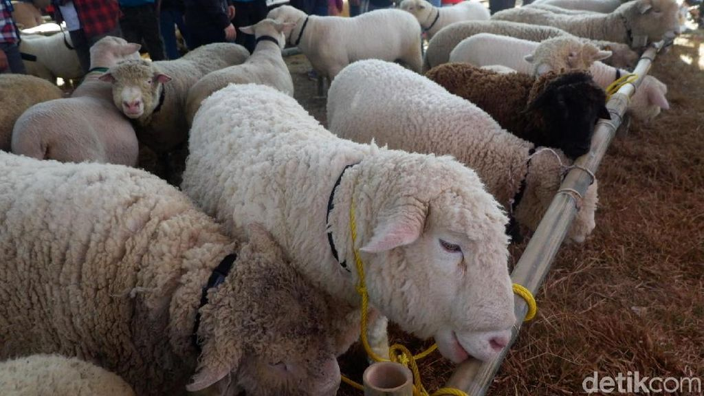 Ratusan Ekor Dombat Ramaikan Dieng Culture Festival