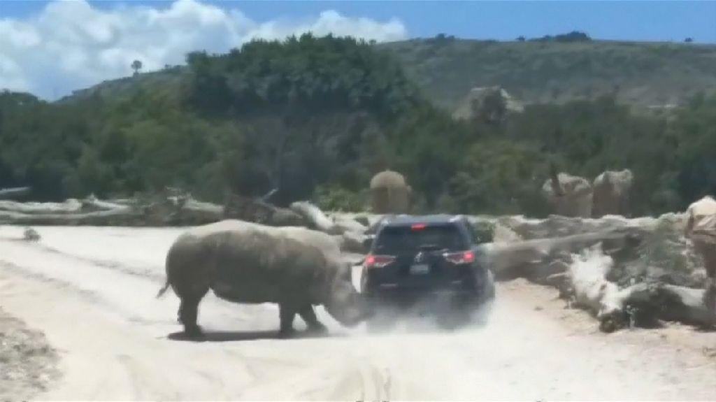 Duh! Ada Badak Seruduk Mobil di Taman Safari Meksiko