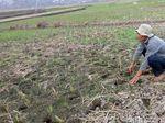 13.173 Hektare Sawah di Jabar Alami Kekeringan