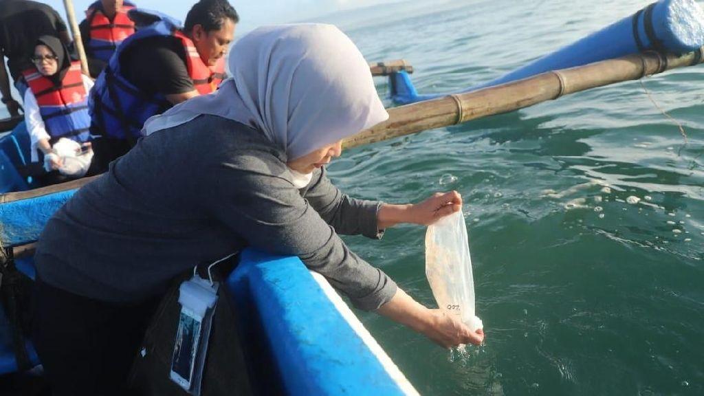 30 Ribu Benih Lobster Selundupan Dilepas Kembali di Kampung Susi